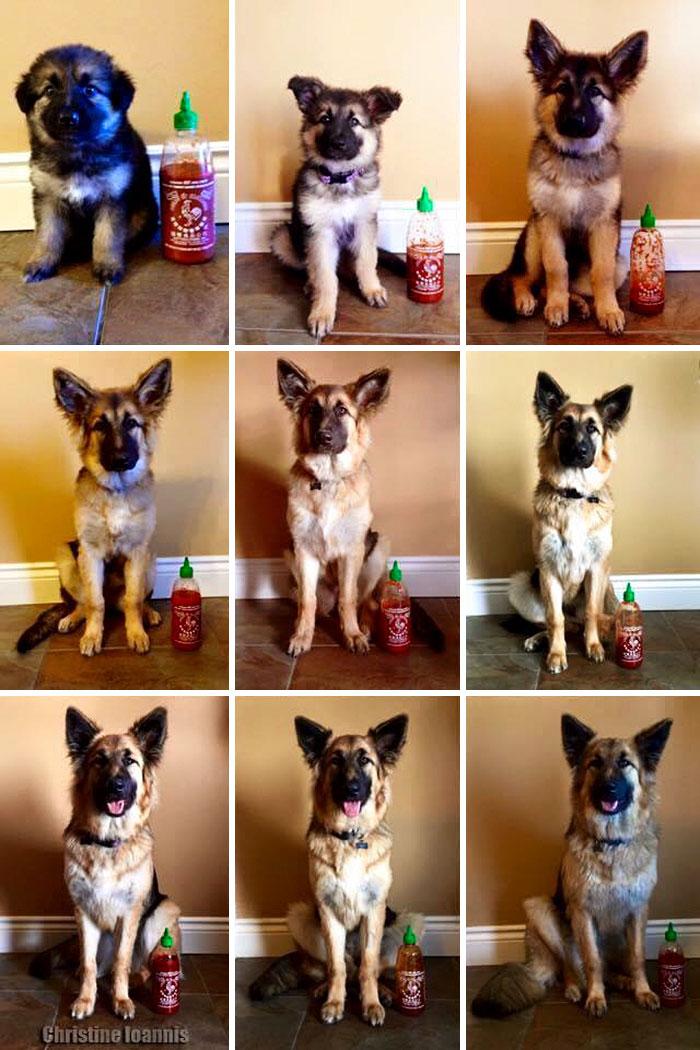 dog-growing-up-timelapse-german-shepherd-sriracha-2