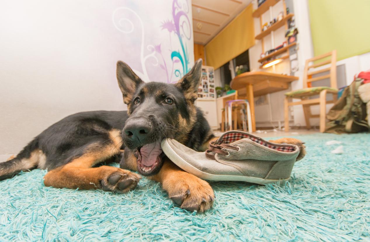 chien_chaussure