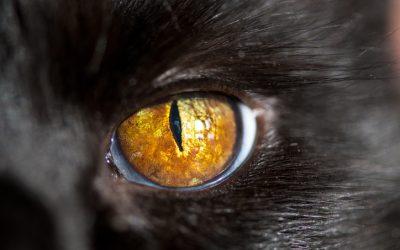 Quels sont les différents sens que possède le chat ?